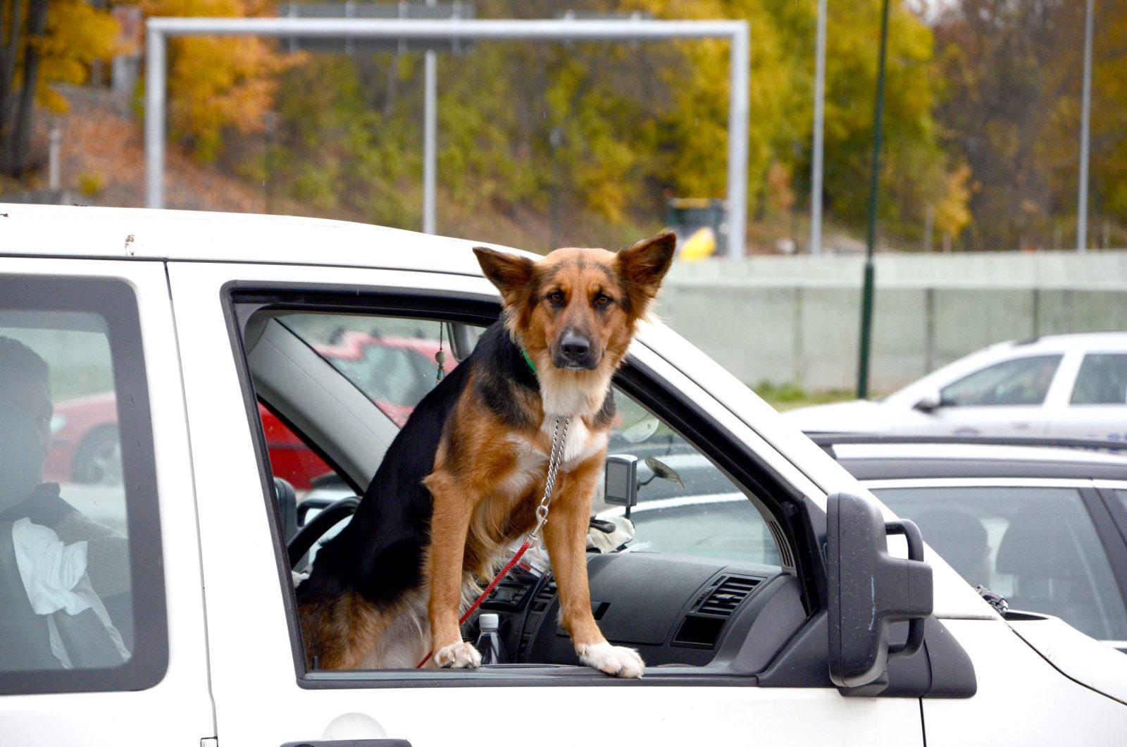 Kućni ljubimci u vozilu